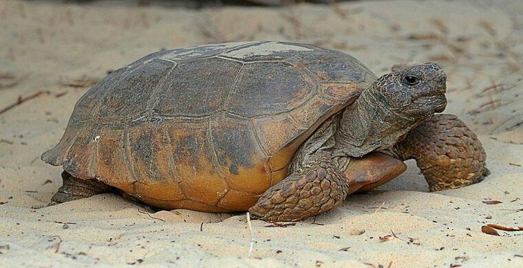 Во Флориде нашли черепаху-рекордсмена