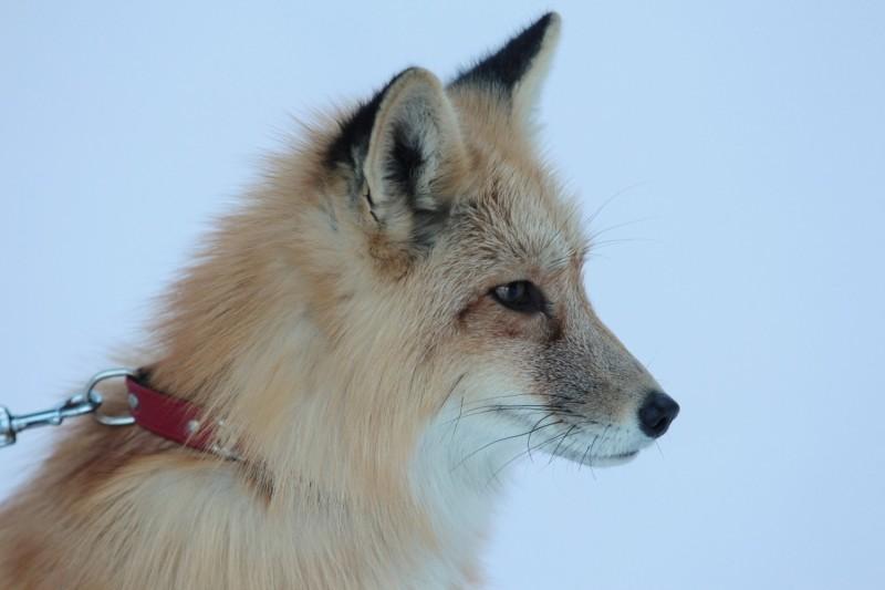 В зоопарке «Роев ручей» появился генетический выведенный ручной лис