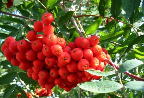 Сладкие ягоды невеженской рябины