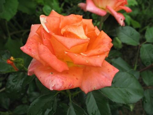 Цветут цветочки с моем садочке (август)