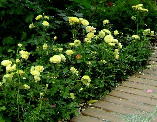 Рабатка из розы флорибунда