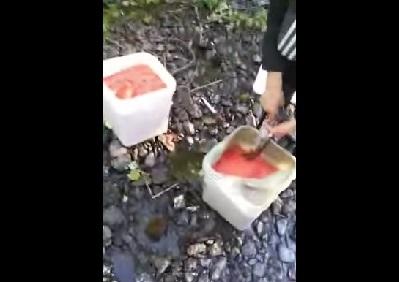 Вот НАСТОЯЩИЕ БРАКОНЬЕРЫ! заготавливают красную икру.