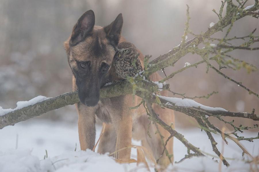 Овчарка Инго и сова Польди не могут жить друг без друга, такая дружба!