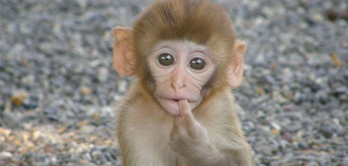 Исследование: гидроксихлорохин не оказывает противовирусного действия на SARS-Cov-2 в нечеловеческих моделях приматов