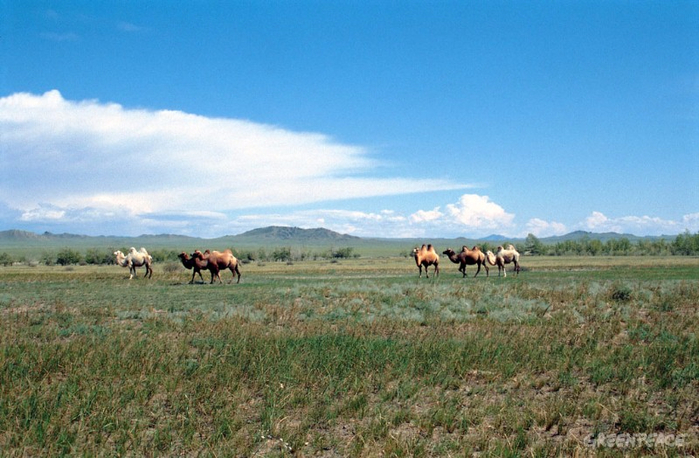 camels-in-ubsunur-steppe (700x458, 354Kb)