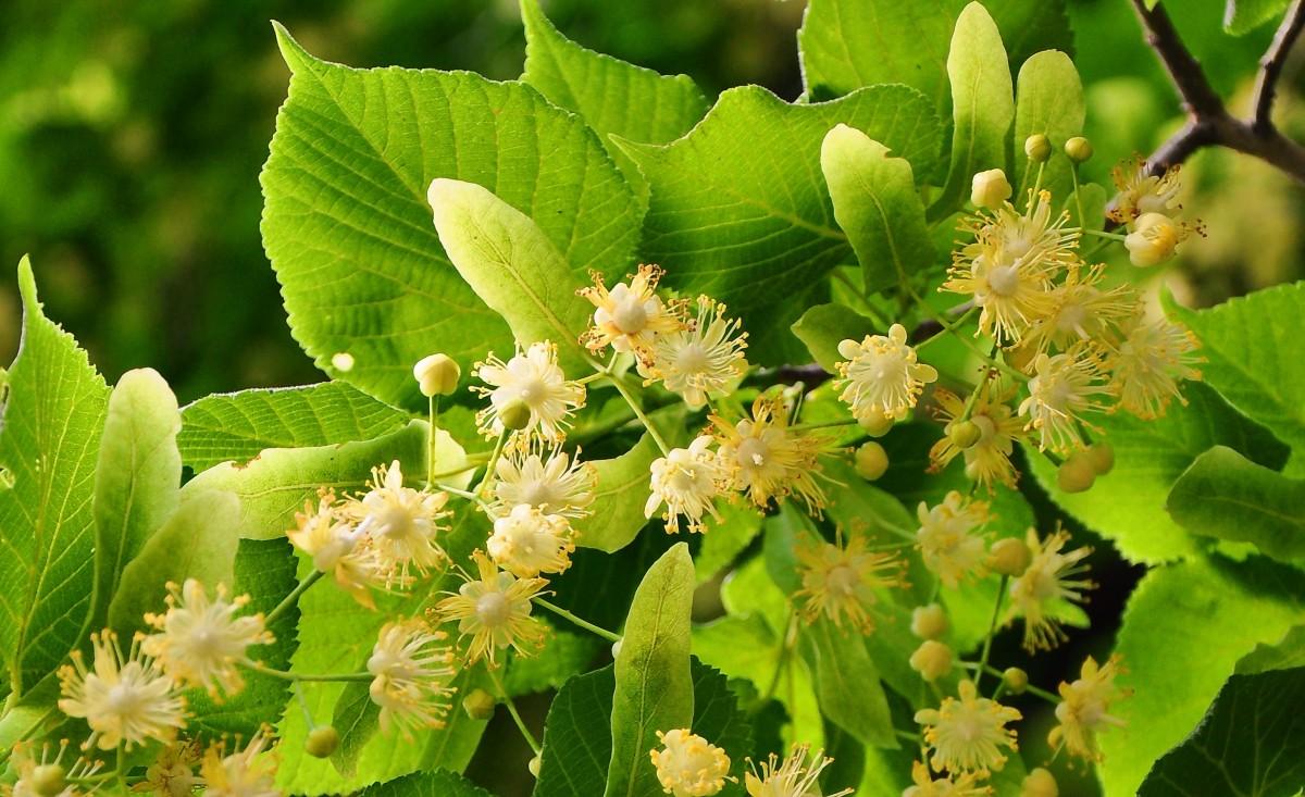 Лечебные свойства листьев липы