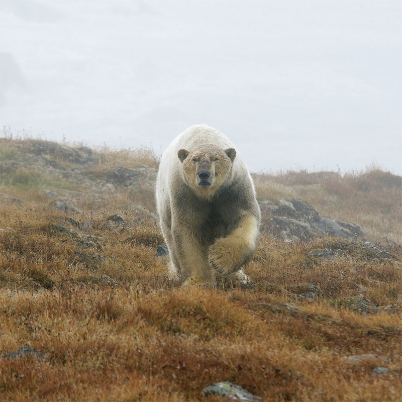 Белые медведи держат в осаде жителей чукотского села