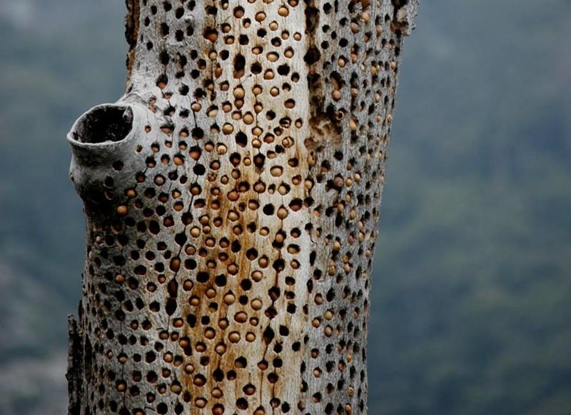 Желудёвые дятлы ещё более суровые woodpecker did it, дятел, дятлова работа, на дерево без слёз смотреть нельзя
