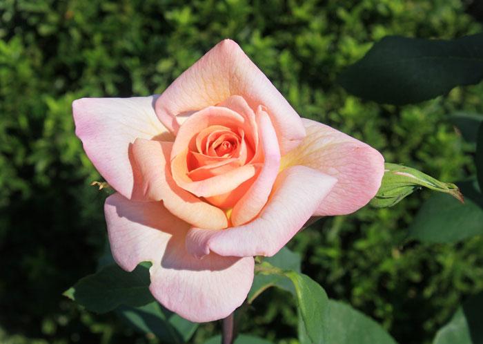 anastgal Розы Никитского сада - пиршество для глаз!