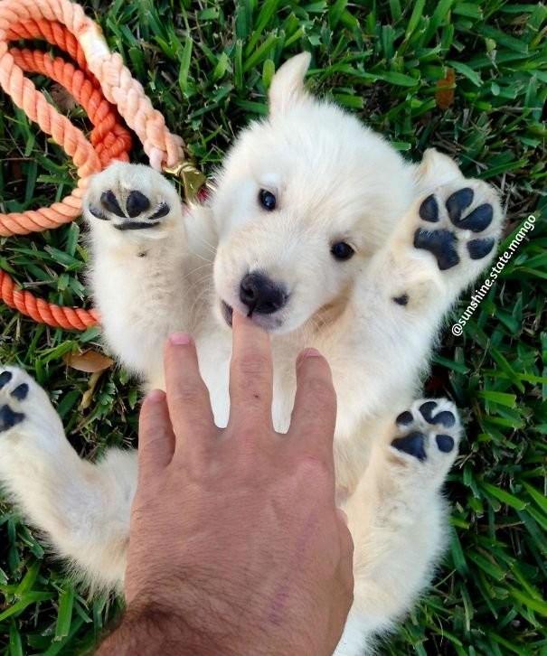 Милые щенки золотистых ретриверов ретривер, собака, щенок