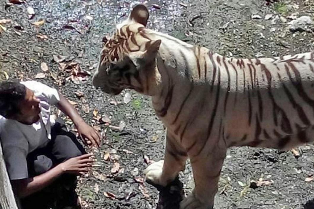 белый тигр зыгрыз человека видом