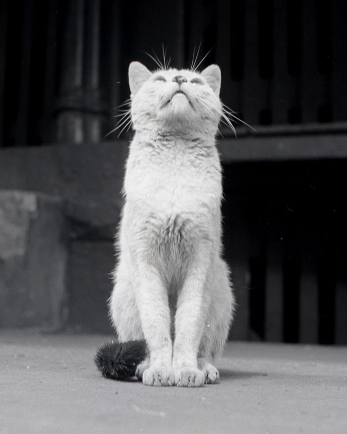 Уолтер Чандоха – человек, который 70 лет фотографировал кошек   26