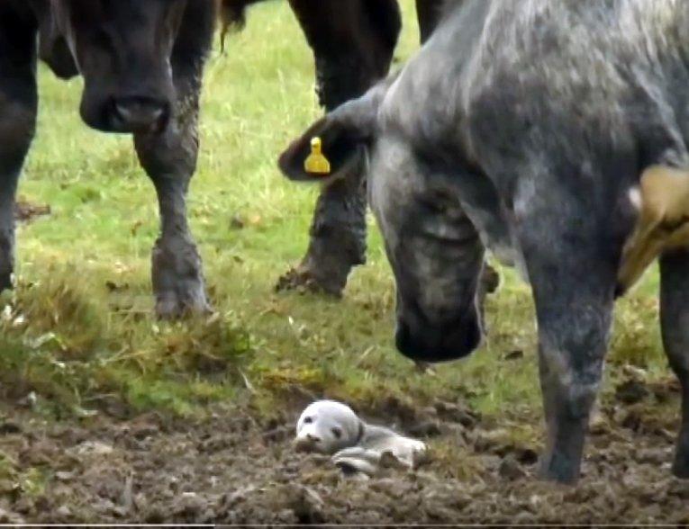 Тридцать коров собрались и с любопытством разглядывают что-то в грязи