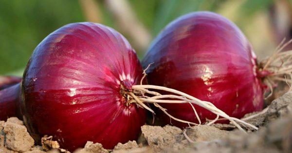 Фиолетовый, именно фиолетовый! Раскрыть силу самого мощного природного антибиотика…