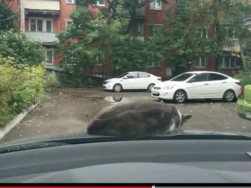 Кот решил вздремнуть на капоте (ВИДЕО)