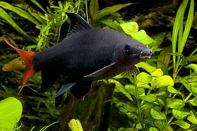 Просмотр изображений по теме: рыбка лабео