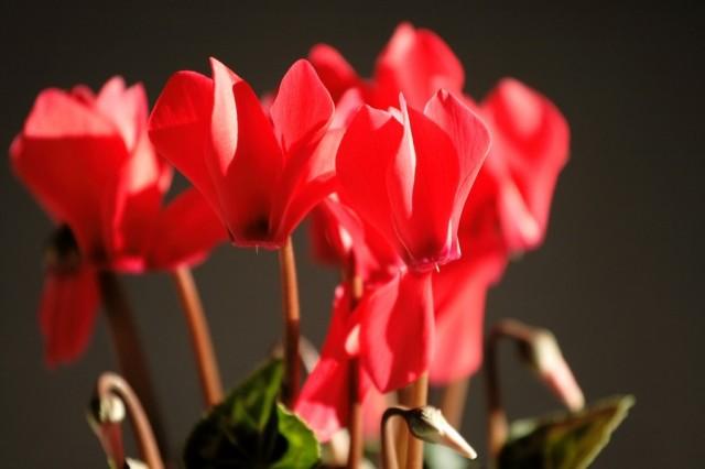 Цикламен - альпийская фиалка Всё о декоративных цветах и растениях