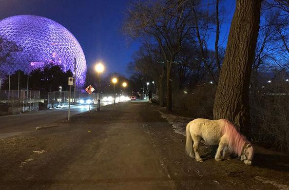 В Монреале трое суток искали несуществующего розового пони
