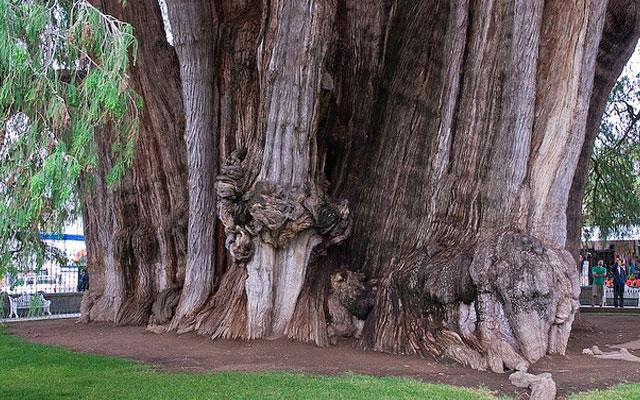 11 священных и культовых деревьев