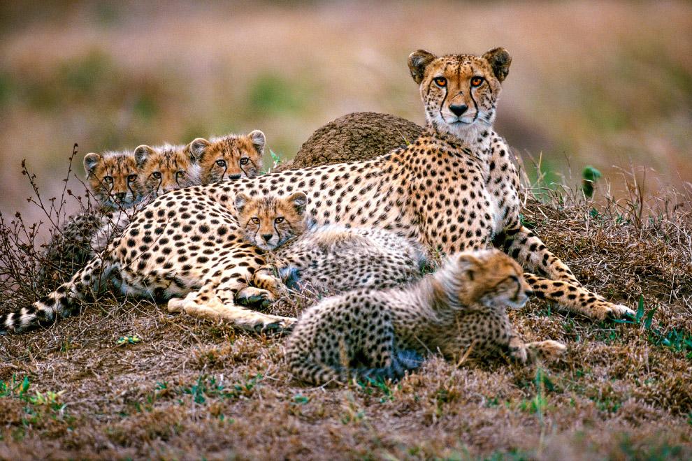 Гепарды в заповеднике Пинда, Южная Африка