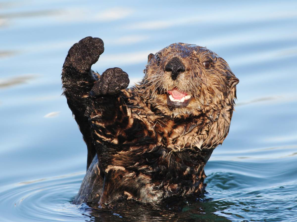 Морские выдры — удивительно умные и очаровательные животные People Are Awesome, fun