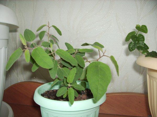 Эвкалипт лимонный: выращивание в домашних условиях