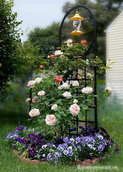 Красивые клумбы с розами фото