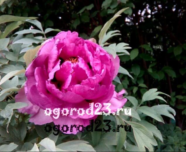 Древовидные пионы — сорта с фото и названиями