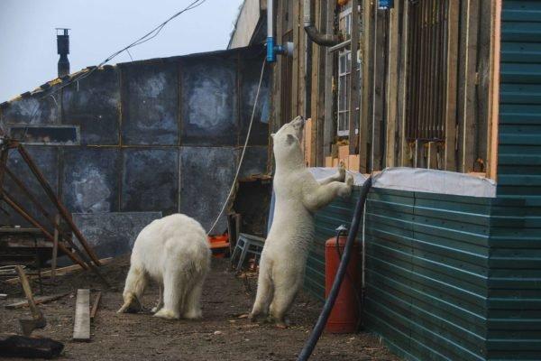 Белые медведи заходят в подъезды домов на Новой Земле