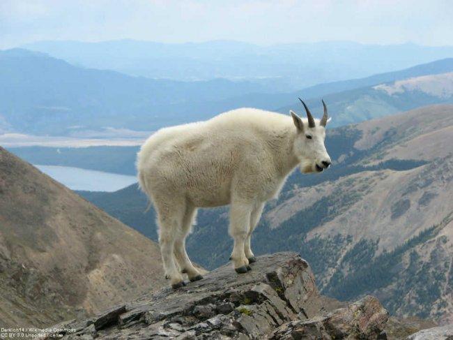 Снежная коза на вершине горы
