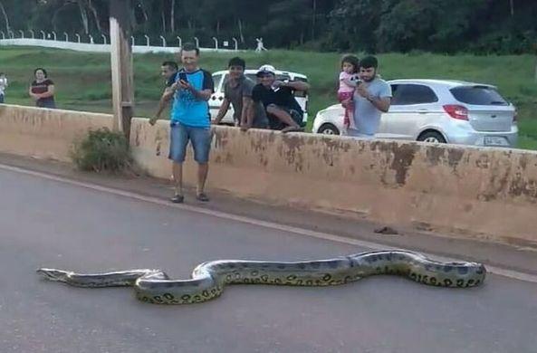Огромная анаконда остановила движение в Бразилии