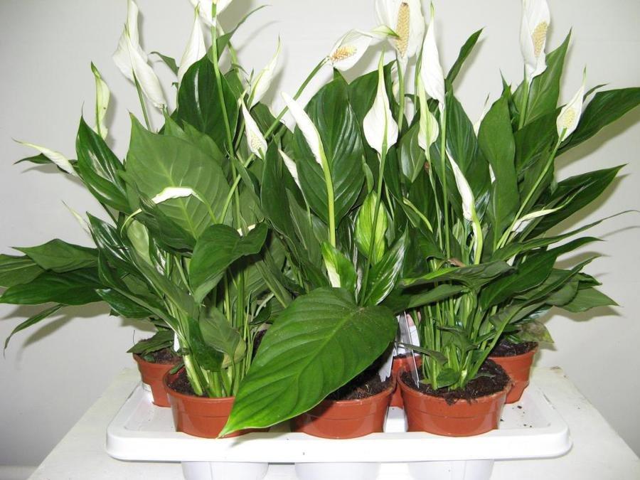 Пятна на листьях спатифиллума