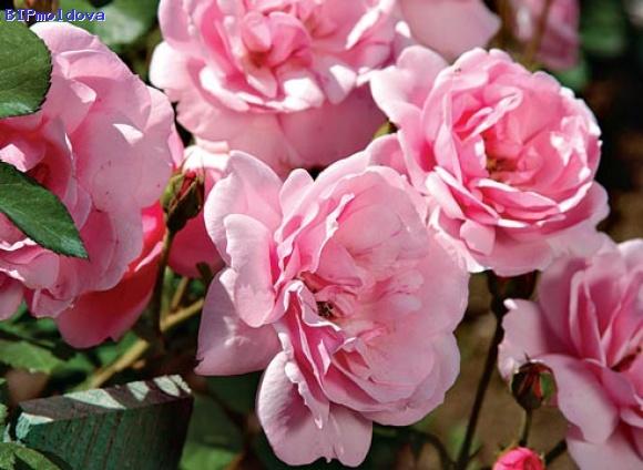 breaua :: Розы Флорибунда.