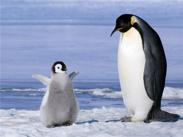 Самый счастливый пингвин (видео)