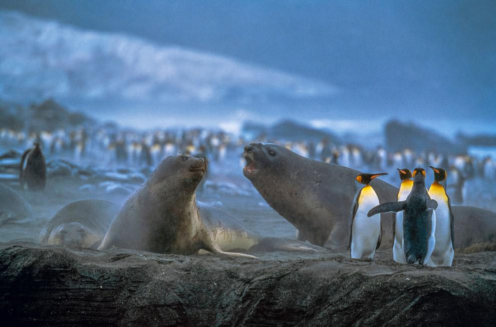 Королевские пингвины и морские слоны, Южная Георгия.