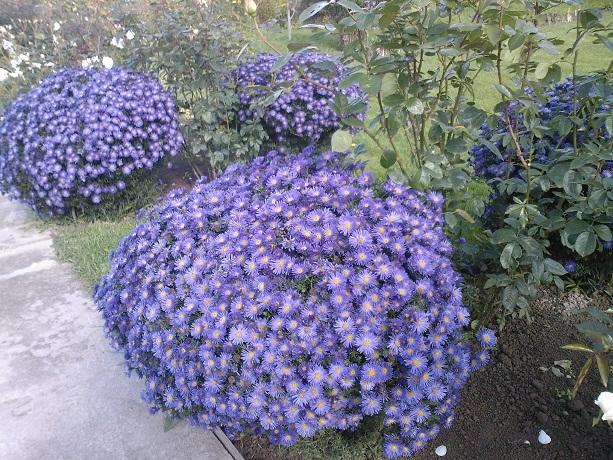 Форум цветоводов * Просмотр темы - Астра (разные виды)