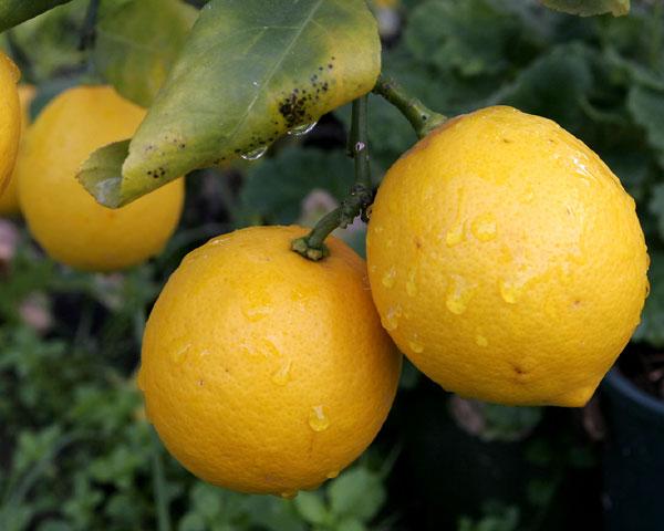 Лечебные свойства лимона!