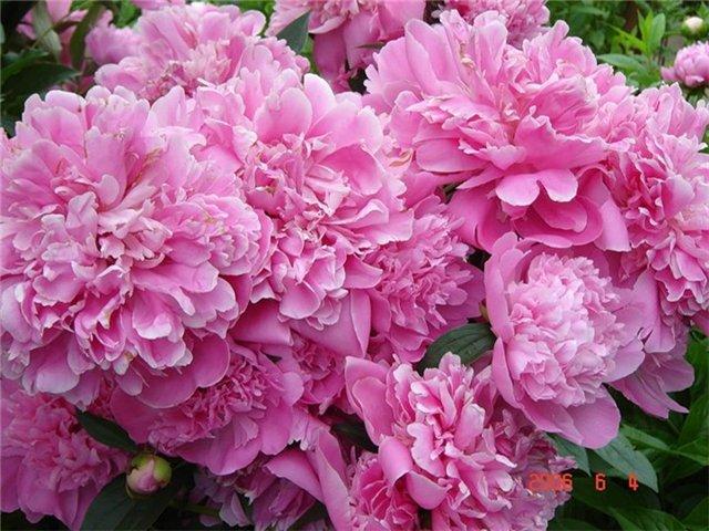Уголок «бабушкиного» сада: вспоминаем классические сорта пионов