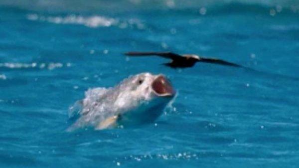 Рыбы, кажется, решили отомстить птицам. Теперь они ловят их!