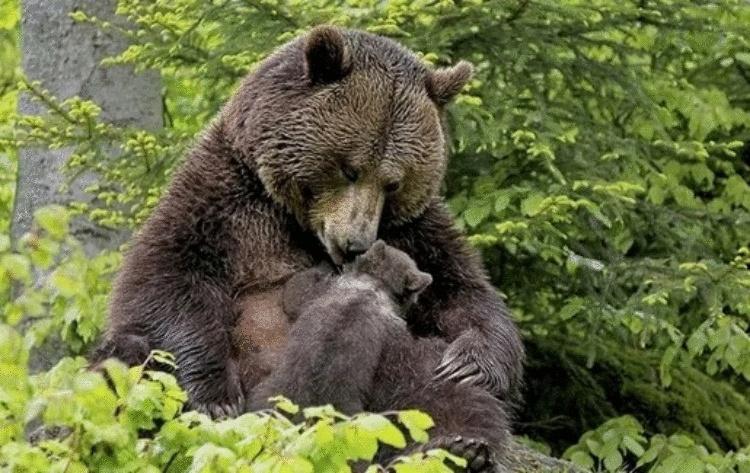 Медведица привела своего медвежонка к девушке, чтобы она вытащила из лапы медвежонка занозу