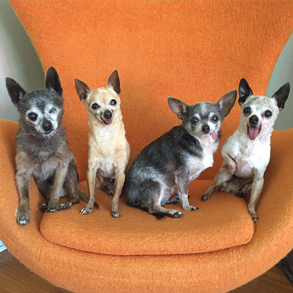 Old Toothless Chihuahuas Adopted Together Just Raised The Bar Of #SquadGoals