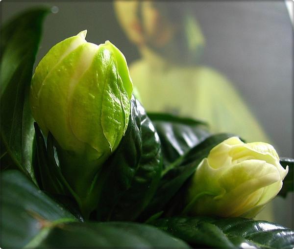 Даже нераспустившиеся цветки гардении прекрасны
