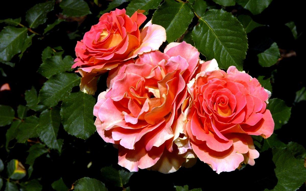 Когда и как лучше всего посадить розу?