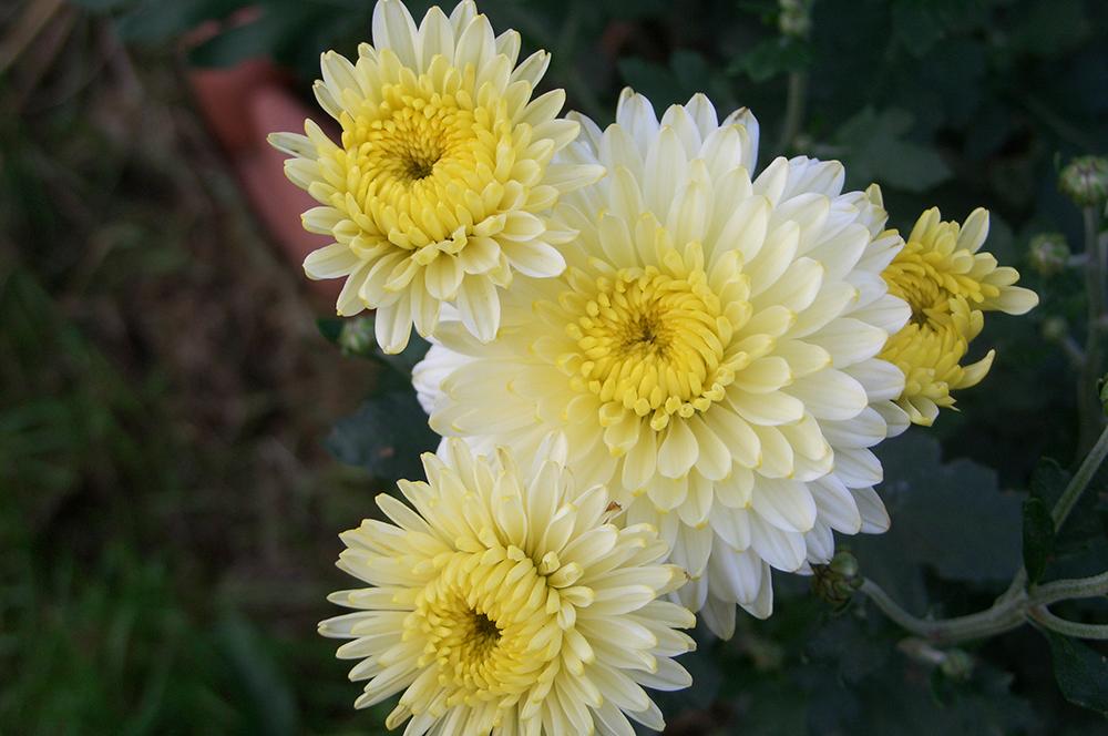 Какие сорта хризантем бывают и как их выращивать