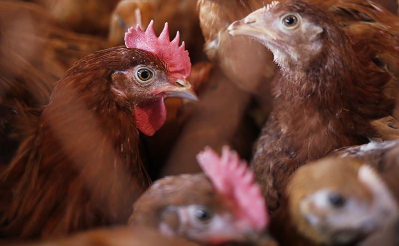 Цыпленок вот уже 10 дней живет без головы
