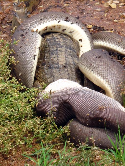 В Австралии питон проглотил крокодила Змея, предположительно, 10-футовый питон, задушил крокодила, оттащил к берегу и заглотил целиком. Австралия питон крокодил