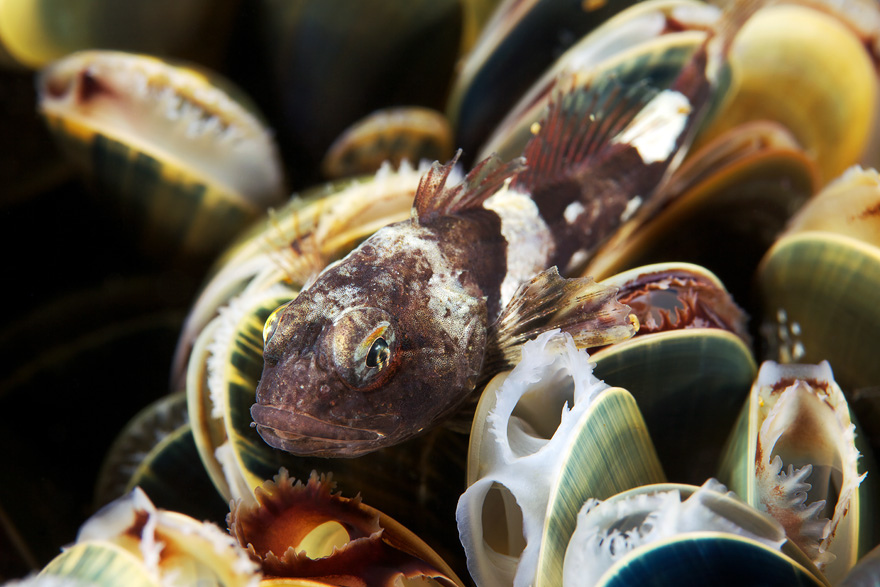 1366 Подводные чудеса Белого моря на фото Александра Семенова