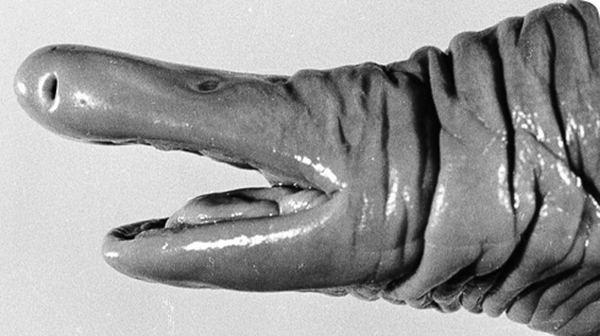 Голова змеи-пениса