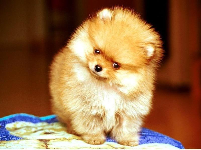 The Royal History Of The Pomeranian Breed