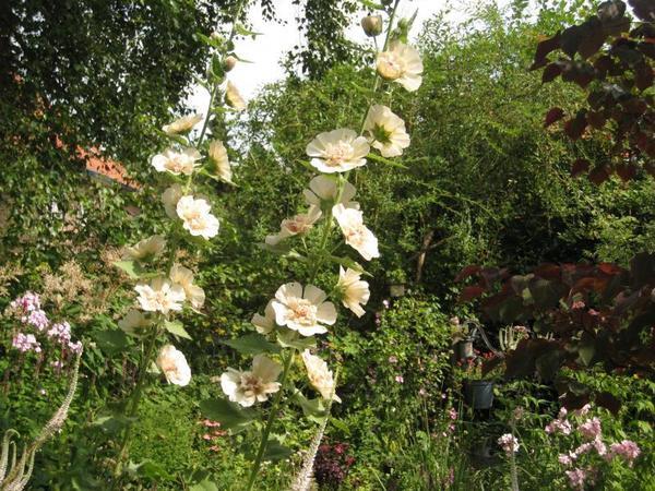 Alcalthaea suffrutescens Parkallee